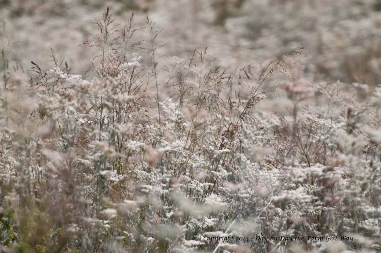 This lovely blur of white wild flowers and wispy prairie grasses are an unknown species to me. The white flower is not Boneset nor Wild Yarrow. The field was fragrant with sweetness!