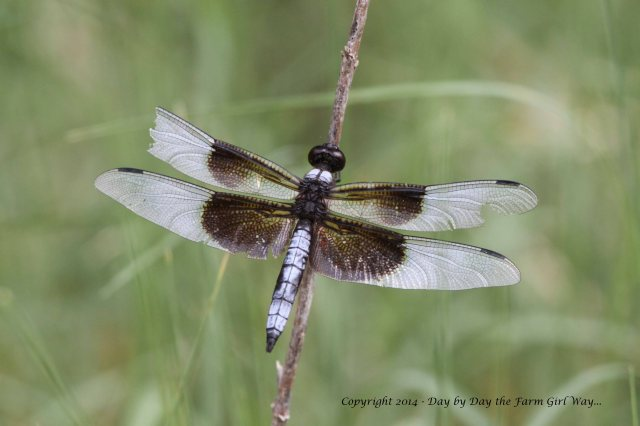 A tattered Widow Skimmer alights on prairie grasses.