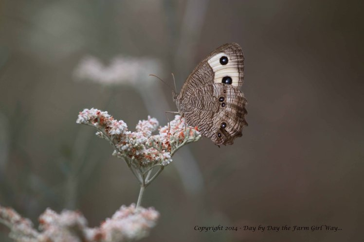 Sadly, our butterfly population was scant this year in SW Oklahoma. I did see a few Buckeye Butterflies in the woodlands this fall.