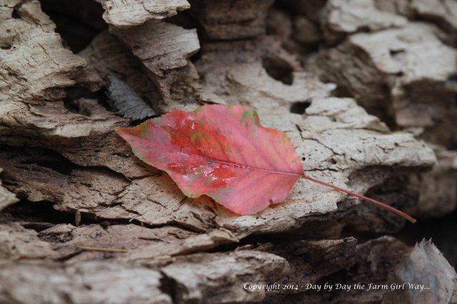 Red Leaf on Wood_8314