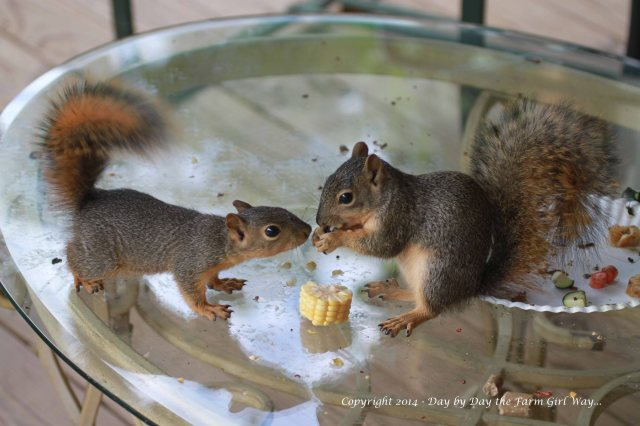 Squirrels Punkin Gambini_8336