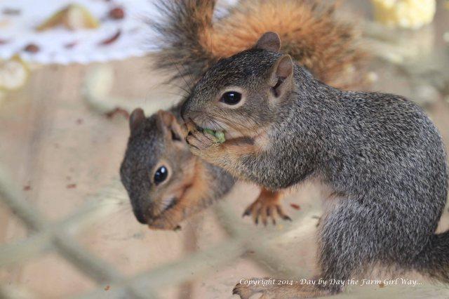 Squirrels Punkin Gambini_8346