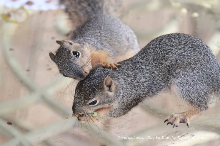 Squirrels Punkin Gambini_8347