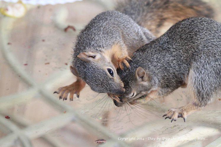 Squirrels Punkin Gambini_8348
