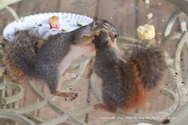 Squirrels Punkin Gambini_8350