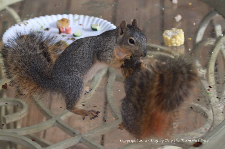 In this series of photographs Punkin was the dominant food snatcher! At this stage Gambini was beginning to fight back for his food, doing his best to annoy Punkin!