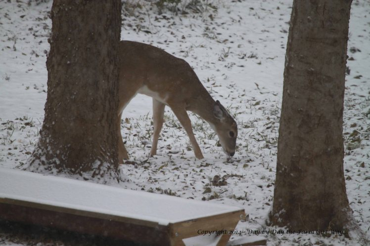 The button buck fawn grazes alone near the feeding area.