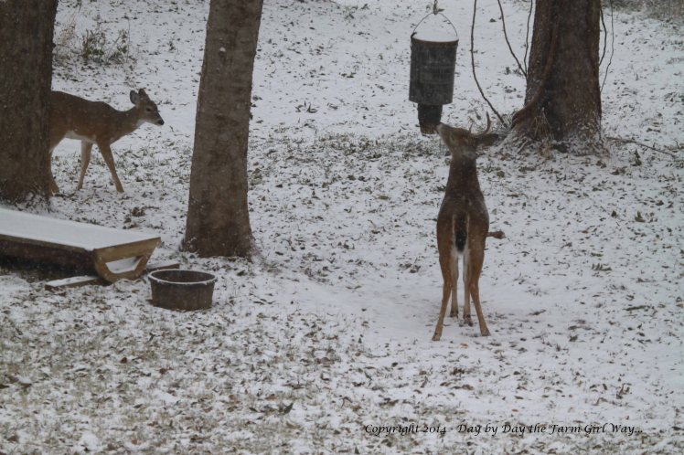 A five-point buck dominates the corn feeder while the button buck waits nearby.