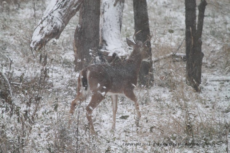 The five-point buck heads on to the pecan orchard as well.