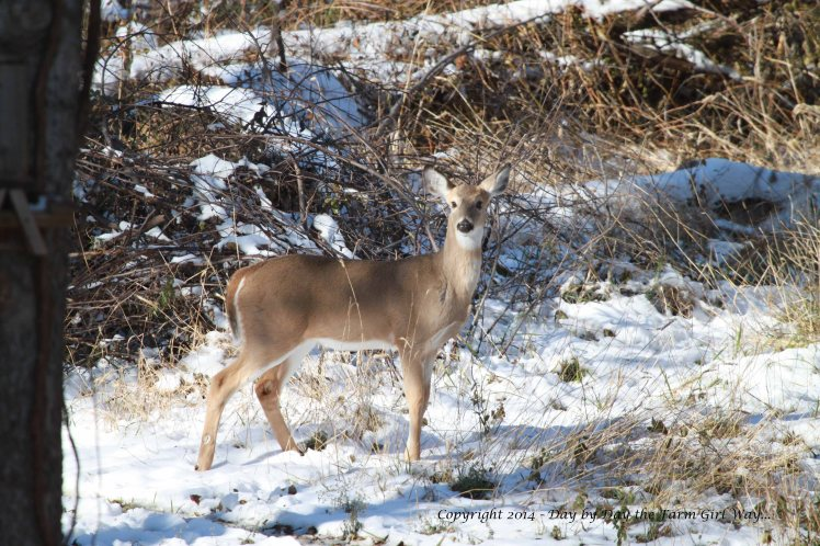 What a delightful beauty the button buck is. This photo was taken the day after the snowfall.