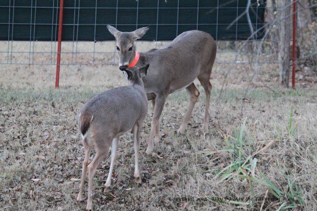 Spirit returns to reunite with her mother, Daisy, after being chased all day by the nine-point buck!