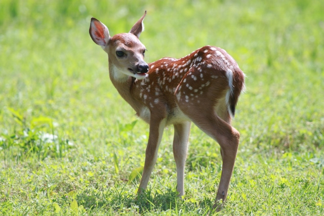 """The caption under the photograph in Outdoor Oklahoma Magazine: """"Bleating Fawn"""" A white-tail deer fawn calls to an adult deer at the edge of the woods."""