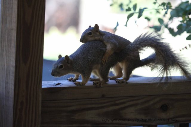 I hope this is simply playful practice and not an indication of Grandsquirrels in the spring!