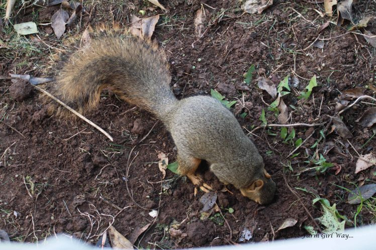 Mr. Gambini searches for a buried snack.