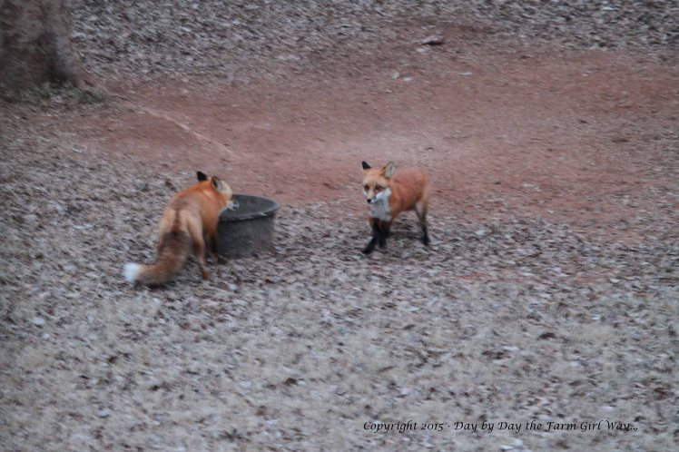 This series of photographs will be blurry due to the 20 degree temperatures and the loss of daylight. One fox was quite submissive to the other. The one on the left appeared to be an old fox, while the one with black legs was quite young.