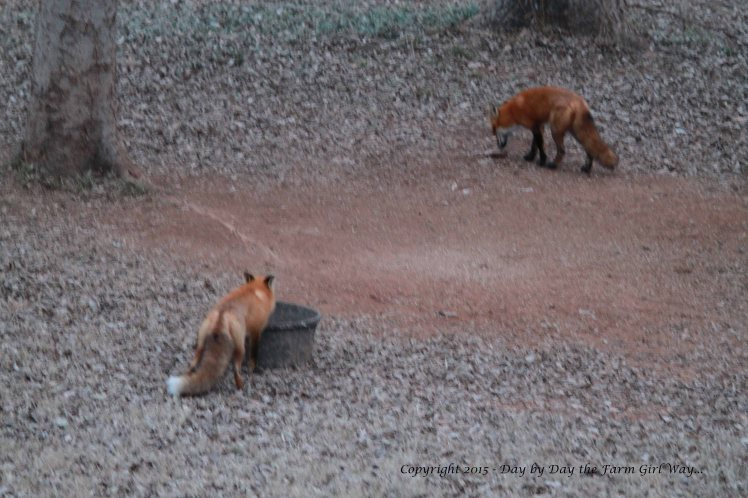 One has a nibble of deer chow while the other sniffs a mineral rock.