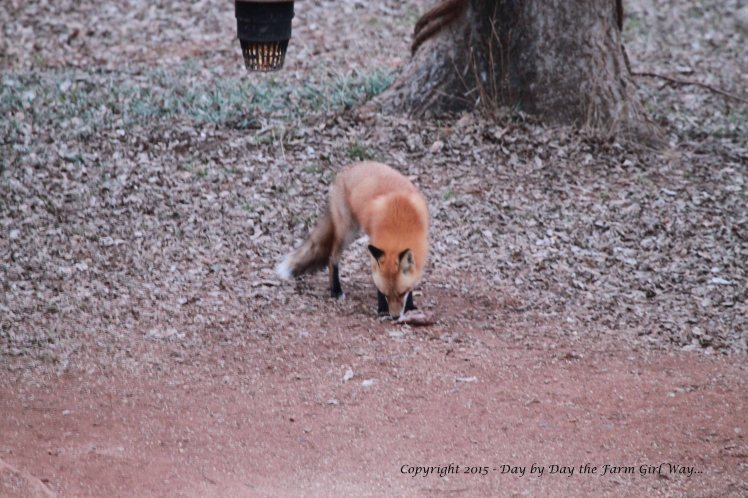 The young fox takes another sniff at the mineral rock...