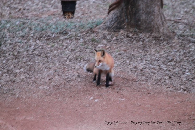 ... and promptly decides to mark the small rock by urinating on it. Foxes mark territory by urinating or by leaving a feces pile on a well-traveled path.