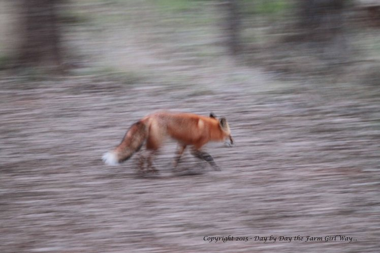 "When I saw this photo I was intrigued by the beauty of the image. ""Panning"" has always escaped me, and I am sure that the cold conditions and poor lighting actually helped create this photograph. I just wish the image of the fox had been more crisp."
