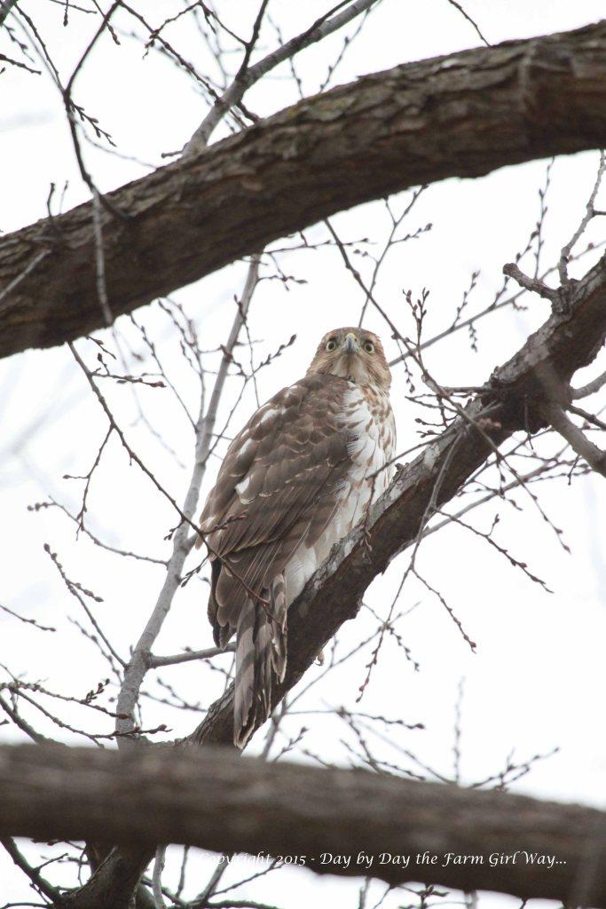 Cooper's Hawk_9475