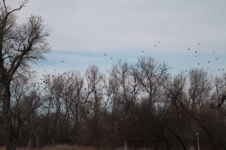 Blackbird Flock_9575