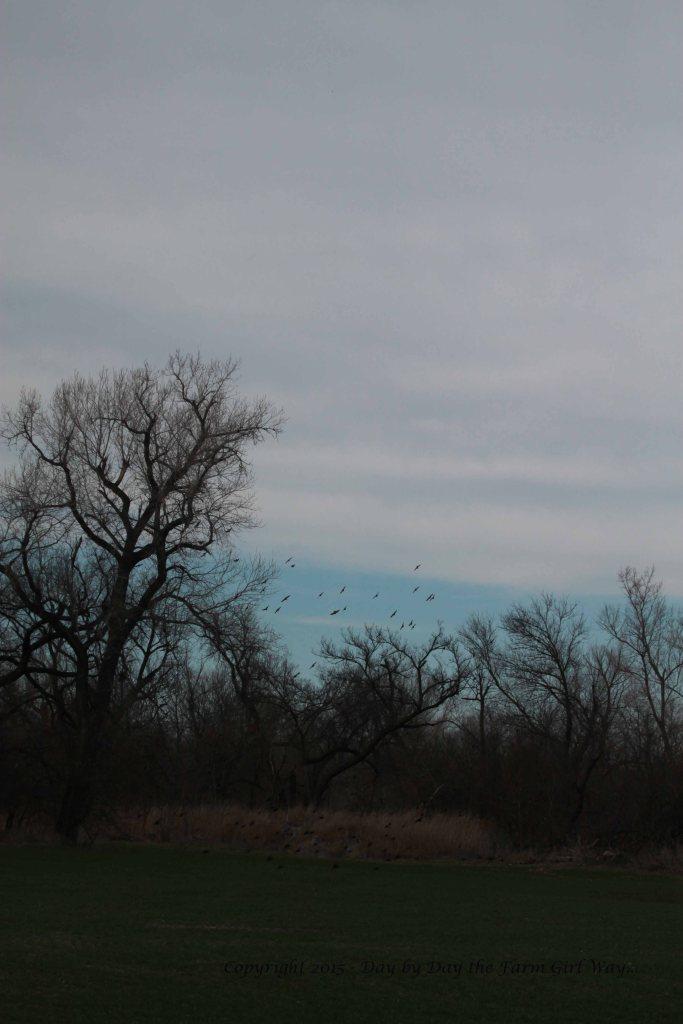 Blackbird Flock_9577