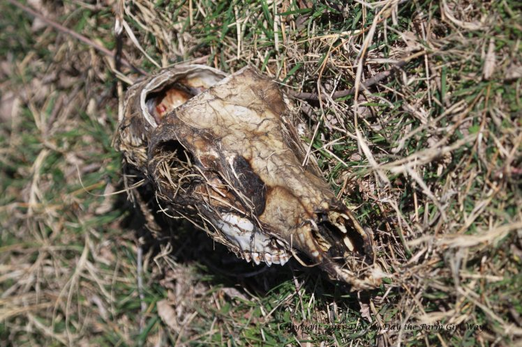 A hunter has discarded the head of a young buck. The antlers have been sawed from the top of the skull. The coyotes or vultures have stripped the hide and meat from the bone. The lower jaw bones were laying nearby.