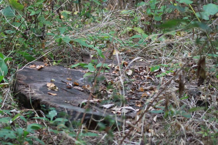 FD told me some years back Walnut poachers came in and cut out some of the old walnut trees. Stumps like this, sawed off at the ground, were observed all along the path we hiked.
