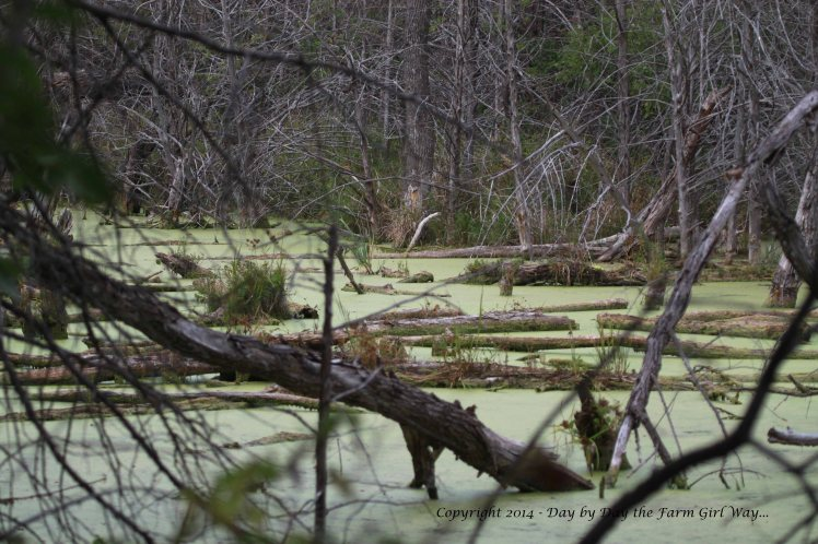 After pulling burs from my pants, socks and shoes, I delight myself in photographing a beautiful swamp area of the lake.