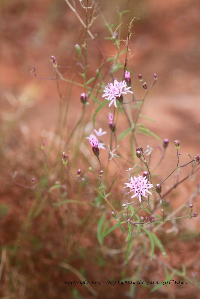 These tiny wildflowers were almost lost in the red sand rock as we headed up towards the dam.