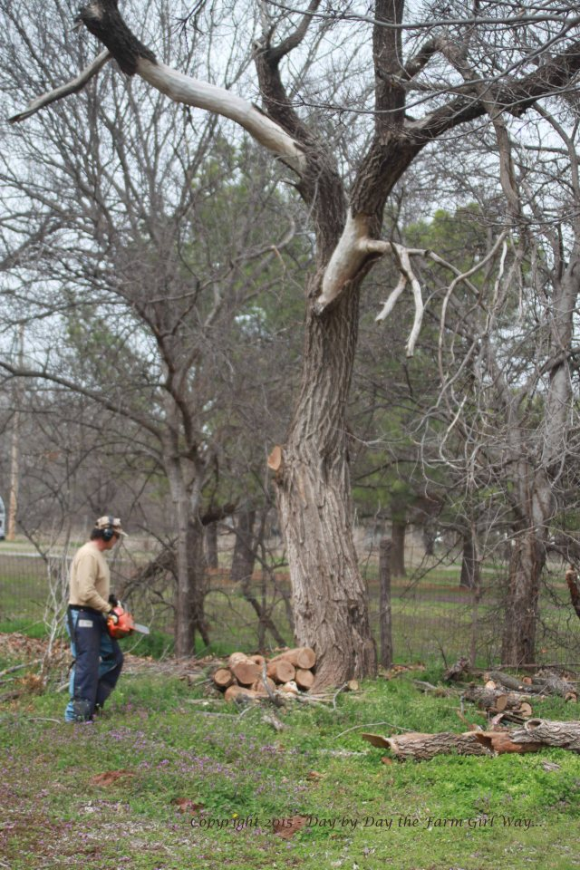 The limb FD is getting ready to cut looks completely hollowed out - in fact it busted in half!