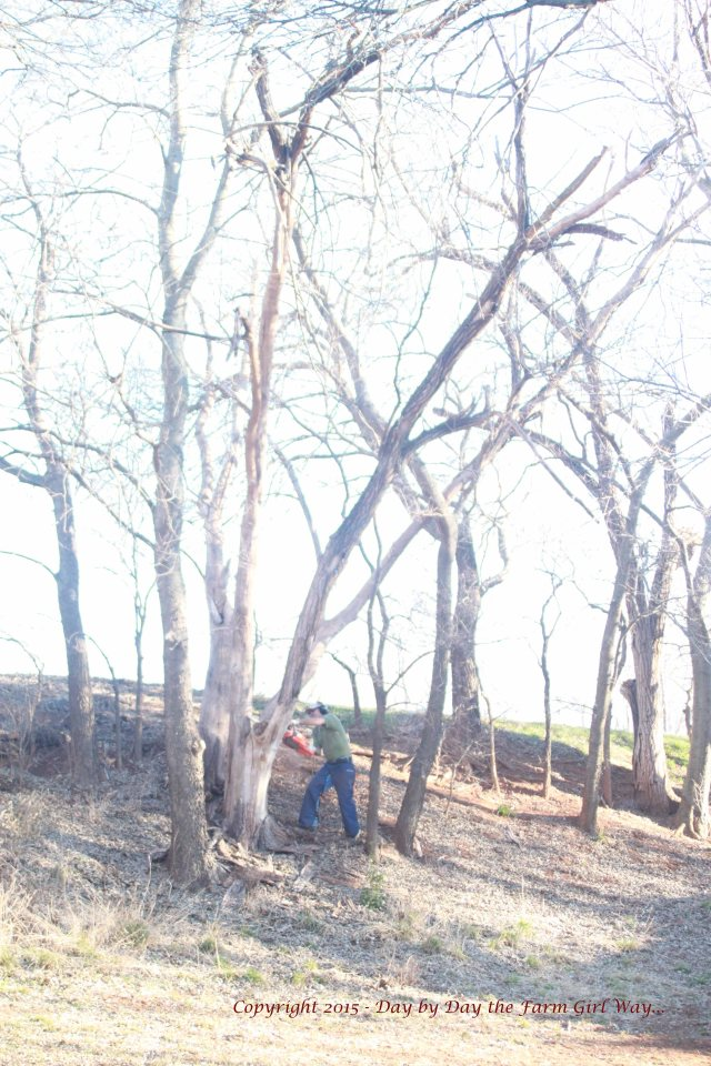 FD cuts the two limbs of main threat to fall. The third remains lodged in another tree, and will eventually rot free, falling at a safer angle.