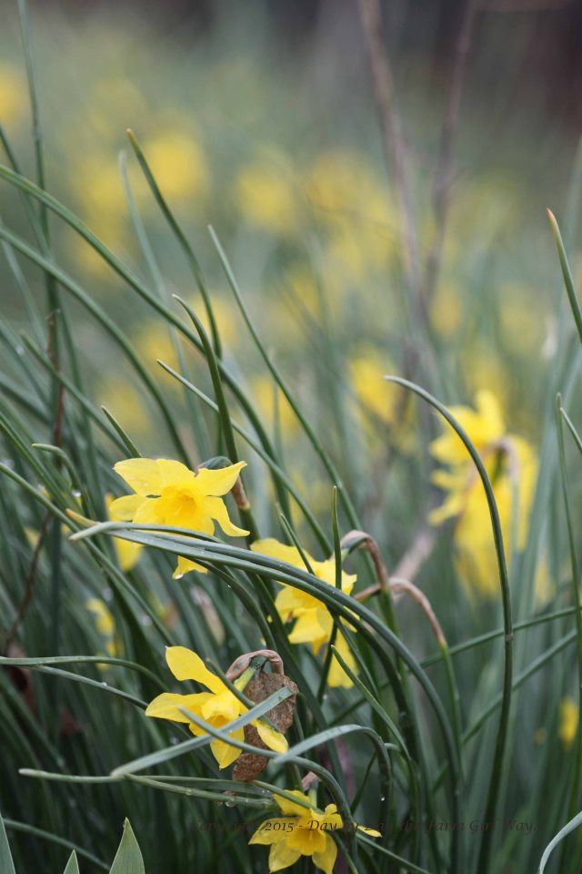 Decades ago, FD's Grandmother planted daffodil and iris bulbs all around the back yard perimeter of the old house. In the spring, we see a blanket of color in the distance. Right now the view is yellow with daffodil, but soon the multi-colored iris will be in full bloom. It will become a sea of color!