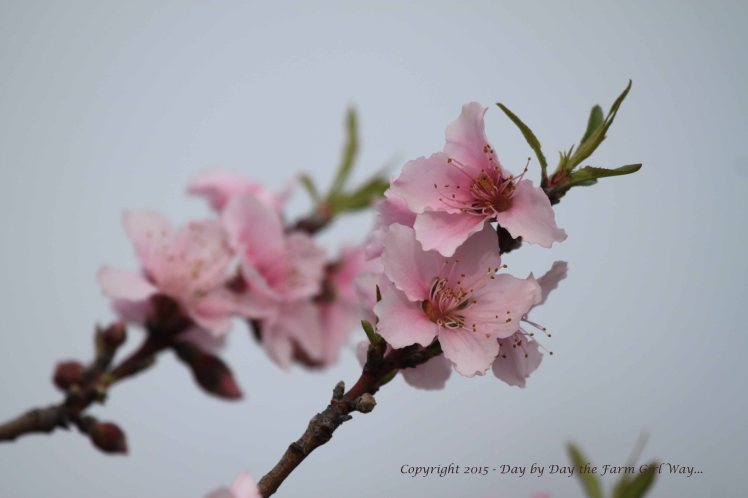 Our peach tree is loaded with blossoms this year. So far we have avoided frost or a late freeze this spring... maybe we will have fruit this summer!