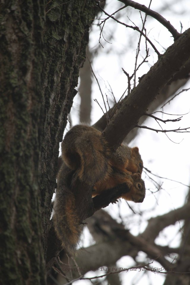 Just above the wildlife water tub I spot two squirrels grooming each other.