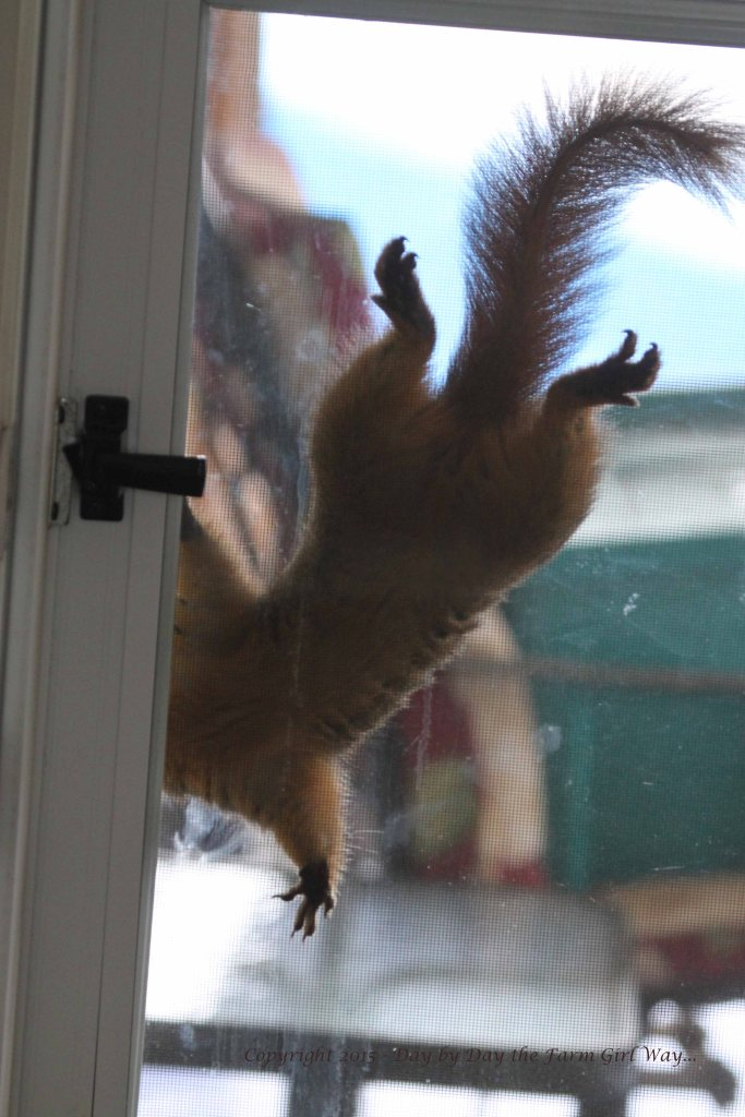Punkin often comes to the back door to see if we will bring her a pecan. She has her head right by the door handle so she can get her paws on that pecan PRONTO!