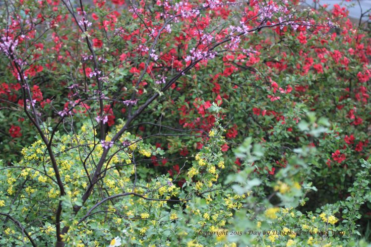 A young Redbud Tree blossoms lavendar, while the Red Currant Shrub offers a yellow flower, and a very old Quince Shrub bears a brilliant red blossom.
