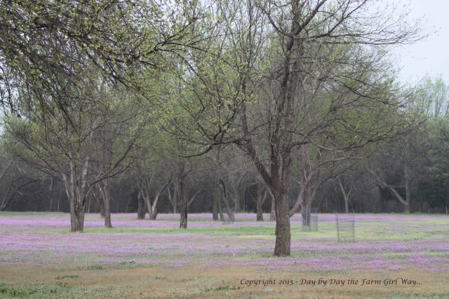 Most folks around here use chemical to get rid of Henbit, but I find its lavender hues beautiful and the deer love to graze on it, not to mention it attracts a lot of butterflies.
