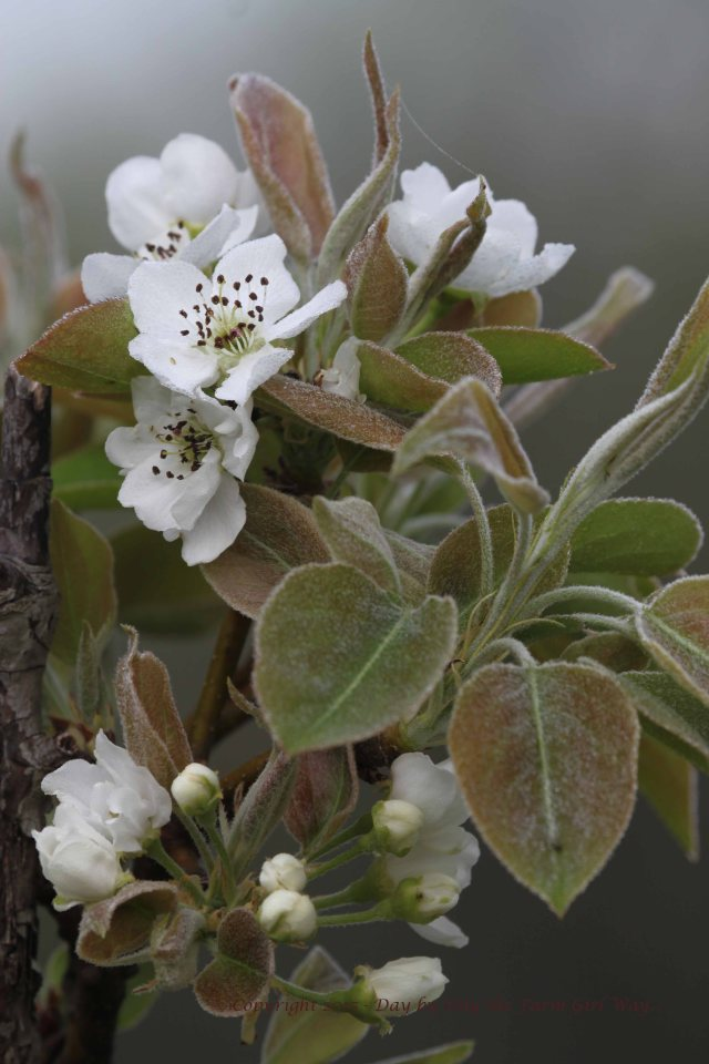 The pear trees are four years old now and this is the first year they have put off blossoms! Daisy deer loves pears.