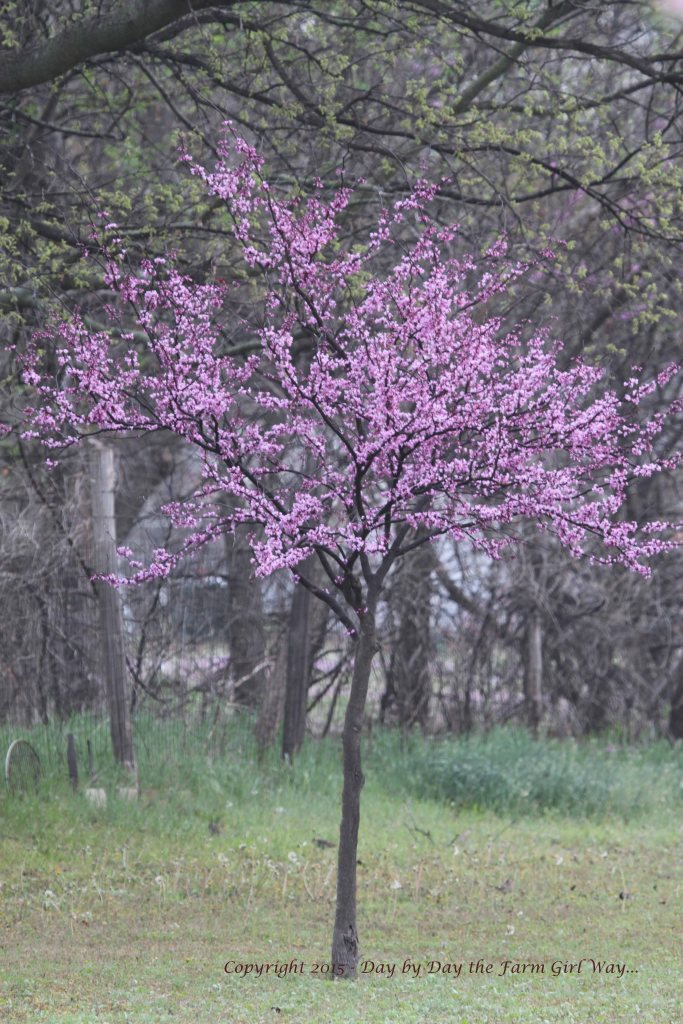 One of several Purple Leaf Redbud trees lining our driveway.