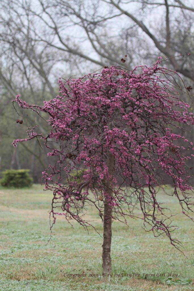 The willowy branches of the Ornamental Redbud are lovely laden in spring pink!
