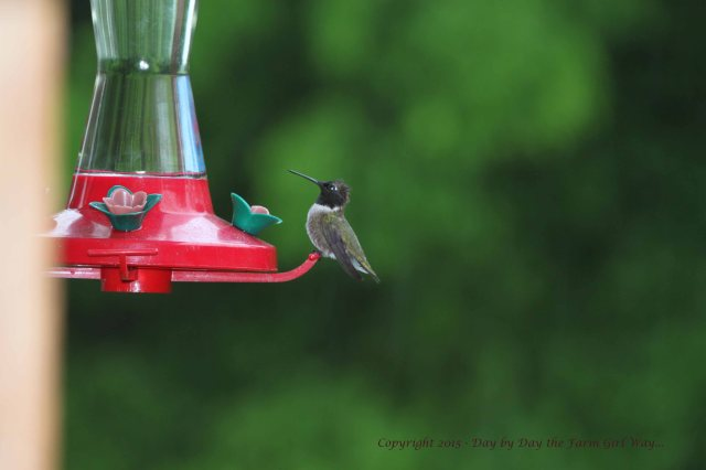 The rain does not stop the hummingbirds - I've even observed them flying through hail! This one looks a little ruffed up!