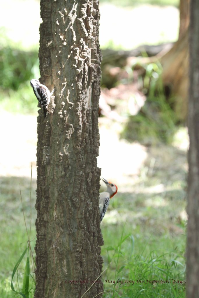 A Red-bellied Woodpecker attempts to run off a Downy Woodpecker - who simply hops round and round the tree to avoid confrontation! Nature is often amusing!