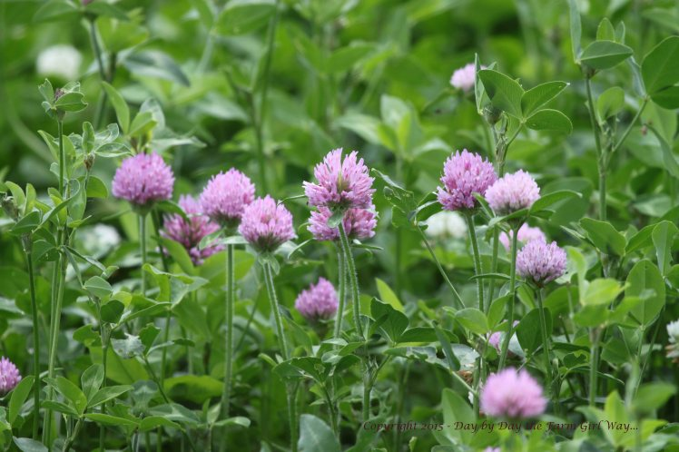 Daisy's clover patch is beautiful after so much spring rain!