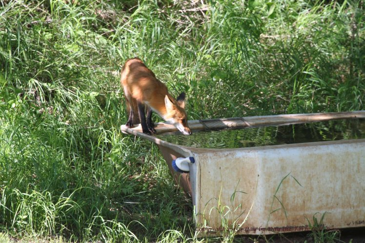 The young fox is seen many times a day. The wildlife tub is a regular stop for many species of mammal and birds.