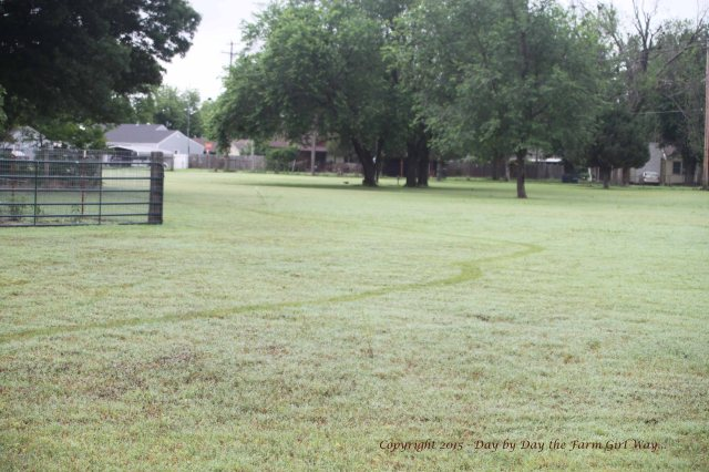 Following the turtle trail in the dewy grass to the pasture.