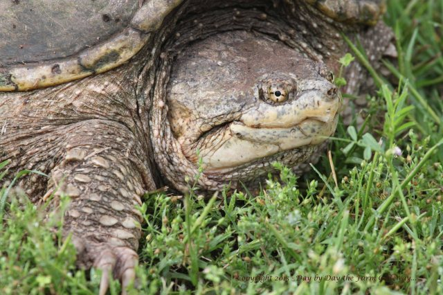 Snapping Turtle_0779