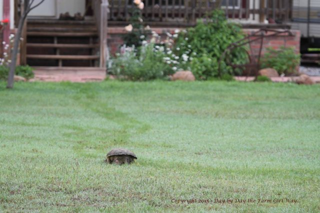 After conducting my investigation  of where the turtle came from, I decided to follow and see where it was headed.
