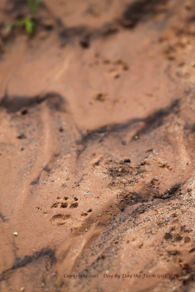 Recent rains smoothed areas of the canyon floor into works of sand art. I wonder what small animal left these tracks?