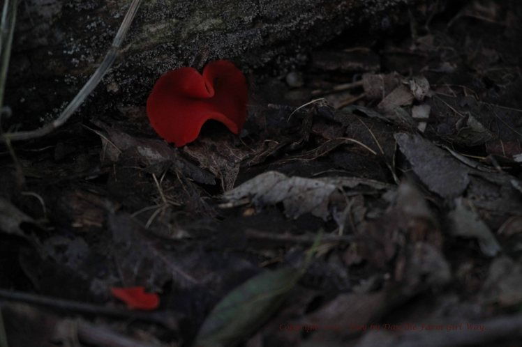 Each spring I see Western Scarlet Cup fungus in the darker areas of the woodlands. grasses. I am always careful not to step on these small, delicate beauties!